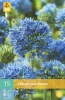 850252/7301 Okrasný česnek modrý - Caeruleum 15ks