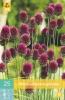 850269/7304 Okrasný česnek růžovofialový - Sphaerocephalon 25ks