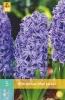 850247/7305 Hyacint modrobílý - Blue Jacket 5ks
