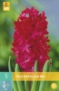 850319/7403 Hyacint červený - Jan Bos 5ks