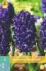 850320/7405 Hyacint fialový Rembrandt 5ks