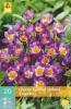 850379/7701 Krokus bledě fialový - Sieberi trocolor 20ks
