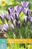 850378/7703 Krokus fialovobílý - Spring Beauty 20ks
