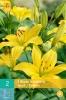 852732/7705 Lilie asijská žlutá 1ks