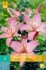 852734/8102 Lilie asijská růžová 2ks