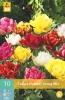 850243/8705 Tulipán směs plnokvětých raných - Dubbel Vroeg 10ks