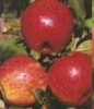 Jablka Šampion (balení 17kg)