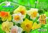 595293 / 9999 Narcisy trumpetovité směs 40ks