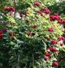 Růže Don Juan