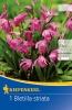 710795 Orchidej vzpřímená 1ks