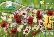 791244 Sparaxis - Včelí květy pro terasu 50ks